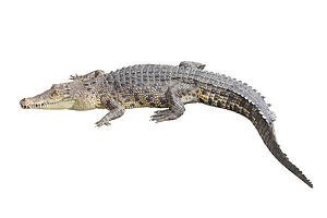 Alligators have made a surprising comeback since farms started raising them for their skins.