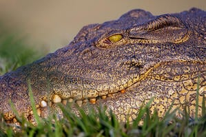 The Nile crocodile is one of the premier leather materials used for footwear, handbags and other leather products.