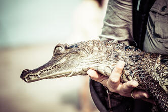 The Caiman is often compared to the skin of crocodiles, although their skin is softer and significantly less expensive.